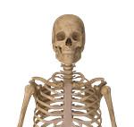 Skeleton bust (anterior)